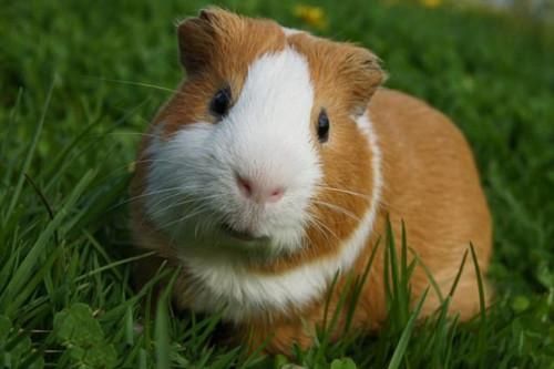 hollanda-guinea-pig-768x511.jpg